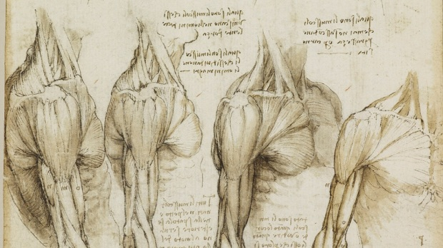Leonardo: Studies of the arm and shoulder