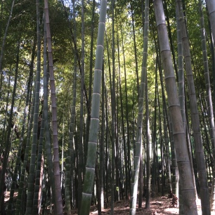 The bamboo forest at Tiger Hill